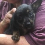 Possibly Wired Haired Terrier Mix 3 (female)