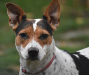 Rescued Cattle Dog - Trixie
