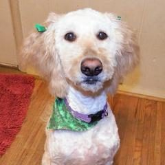 Goldendoodle Rescue Rochester NY- Clover