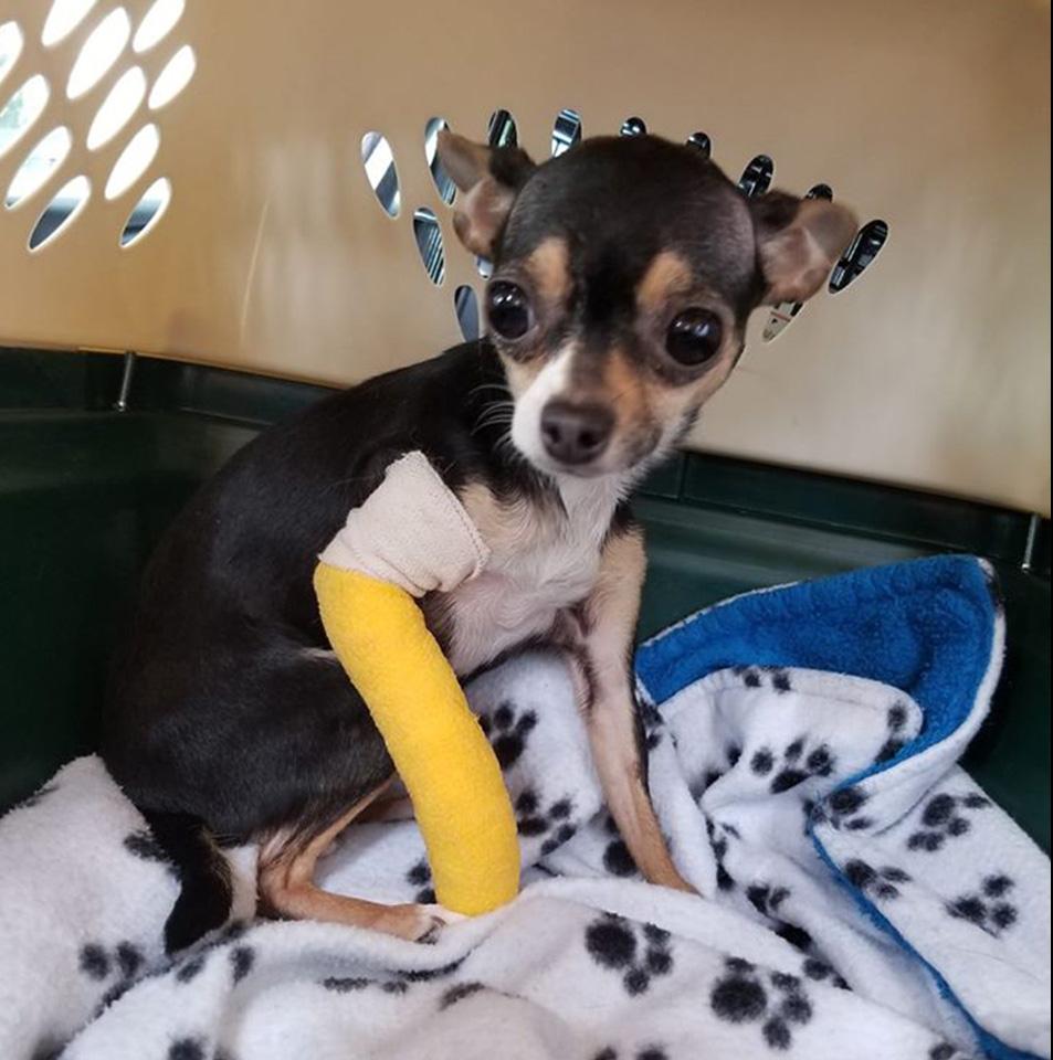 Puppy Mill Dog in leg cast